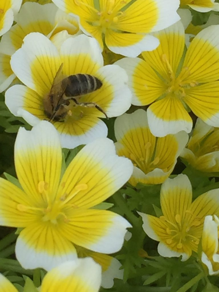 Bee on Poached Egg Plant