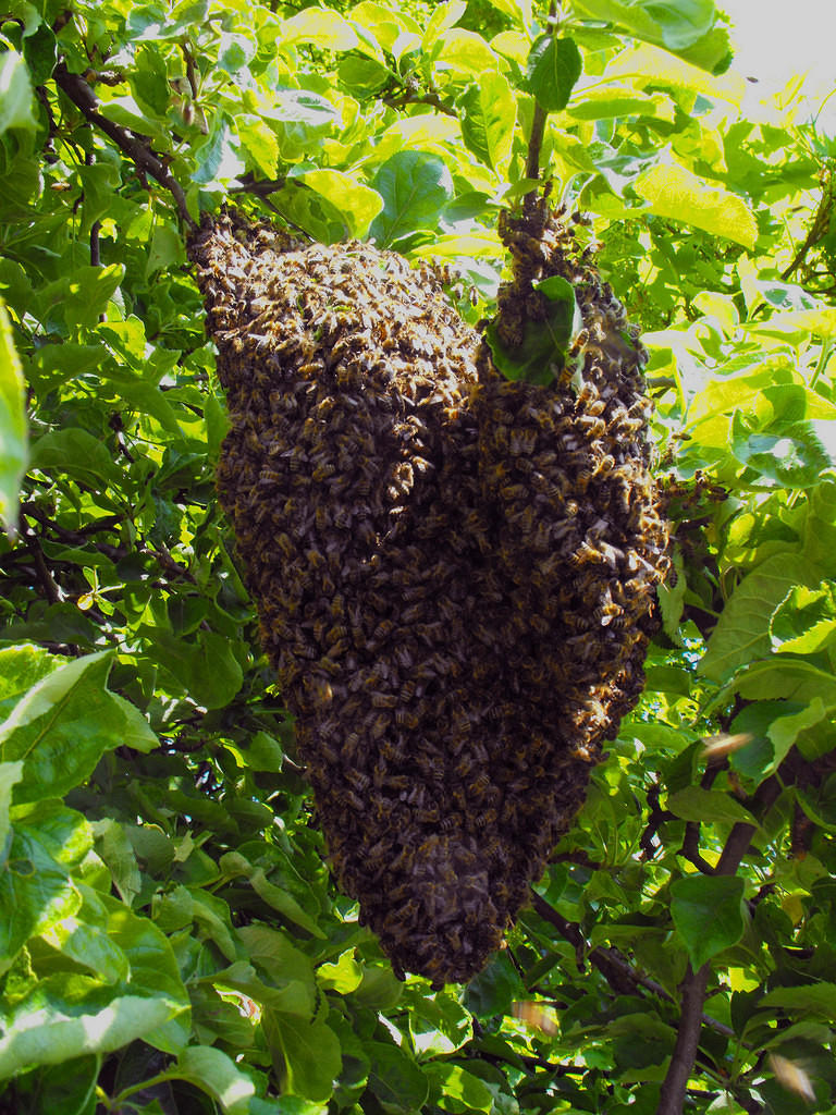 Swarm hanging from a tree branch