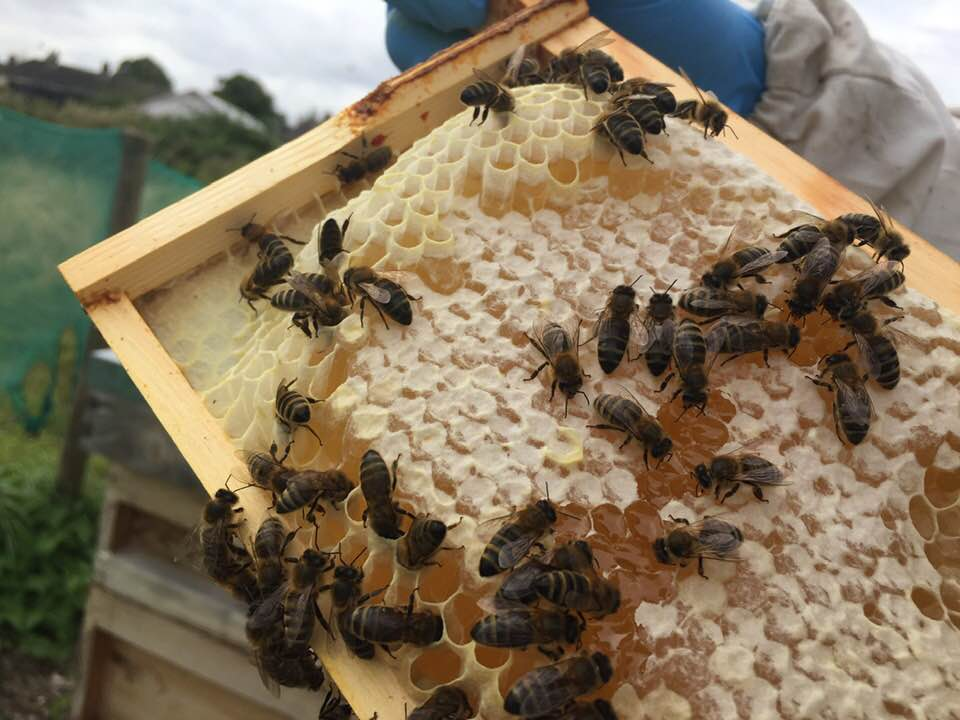 image showing a frame with capped honey and bees
