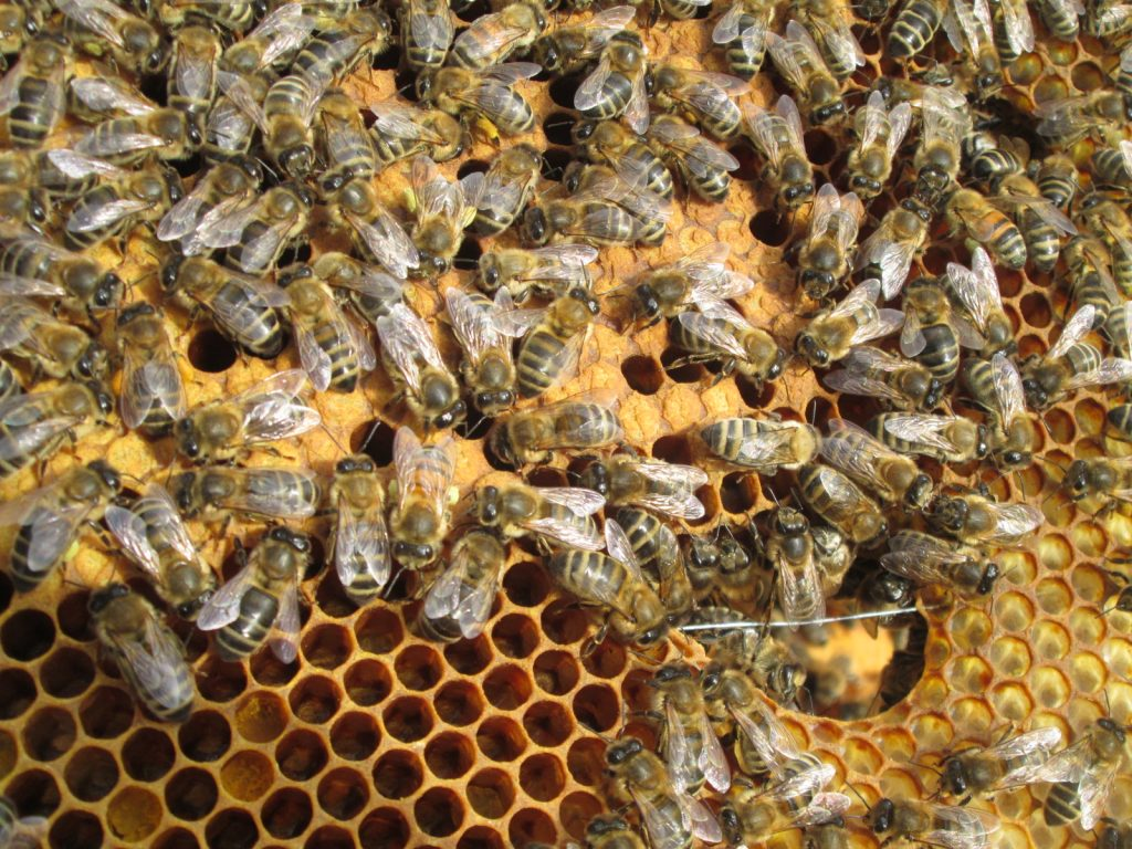 image showinf bees and capped brood cells