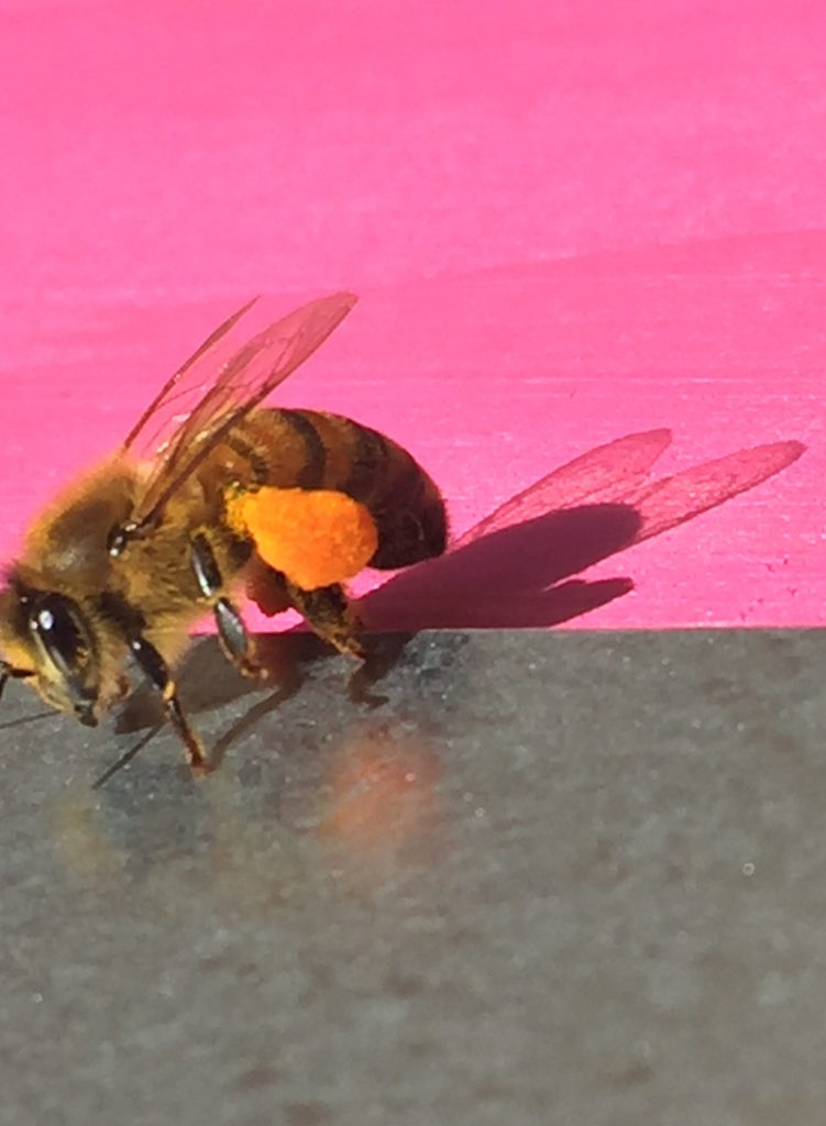image showing a bee laden with orange pollen