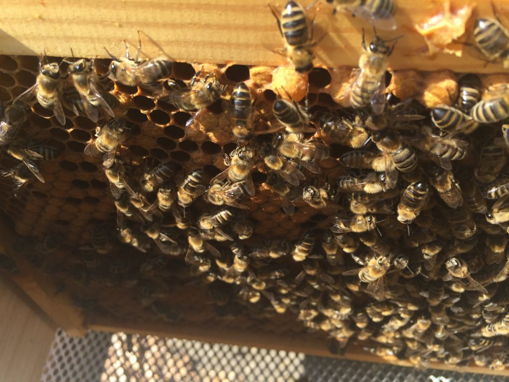 image showing a frame of bees taken from inside the brood box