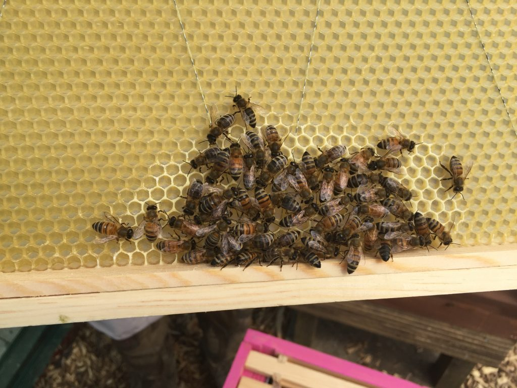 image showing bees building comb on wax foundation