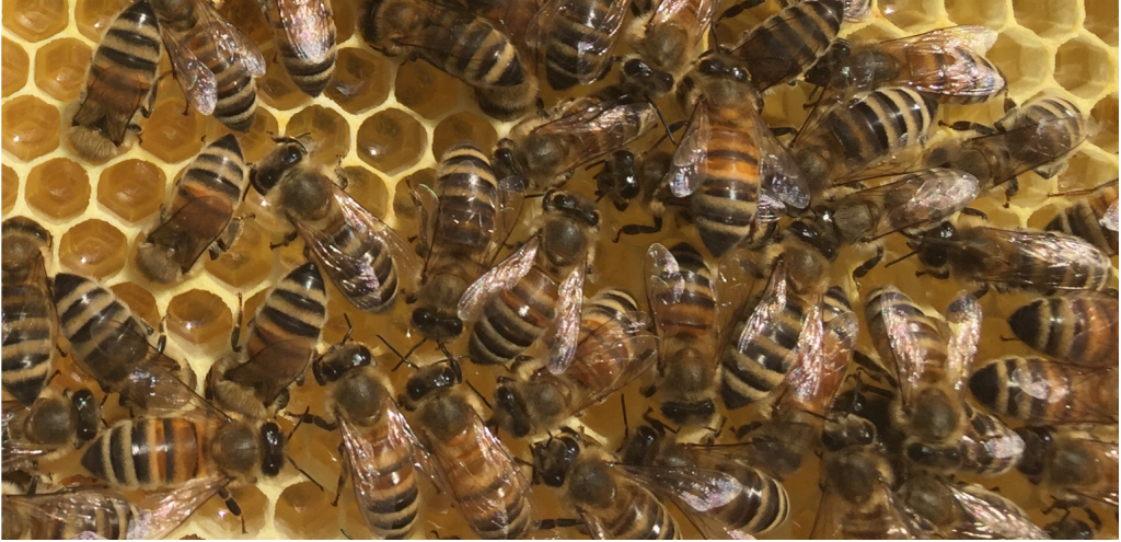 image showing cluster of bees on a frame in the sunshine