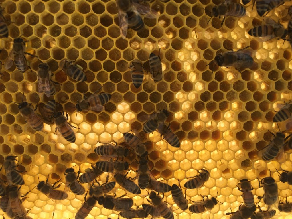 image showing a frame of bees with the light shining through the cells