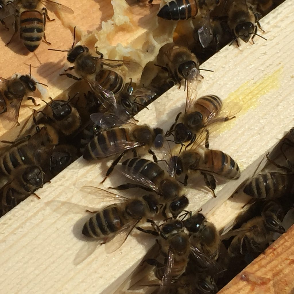 bees clustered on the top of a frame and feeding on a drop of syrup