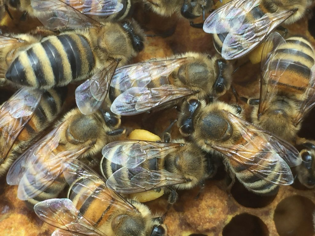 image showing bees with pollen on their legs