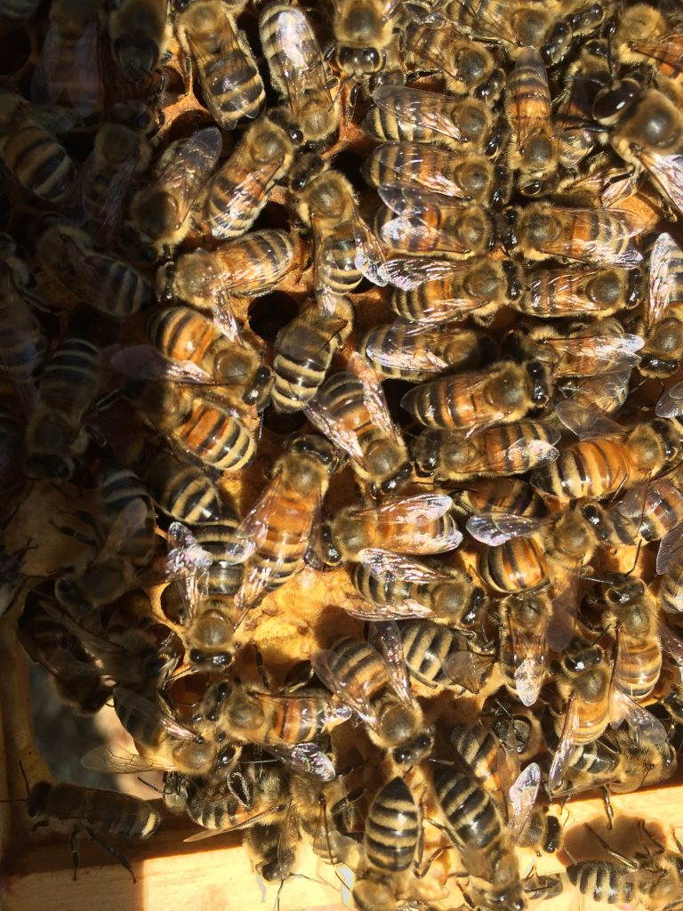 clusters of bees inside the hive in the summer sunshine