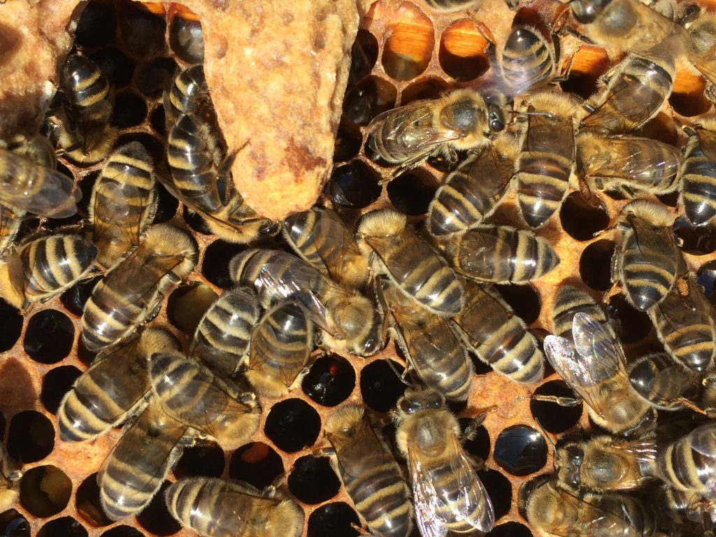 image showing a single capped queen cell on a frame surrounded by bees