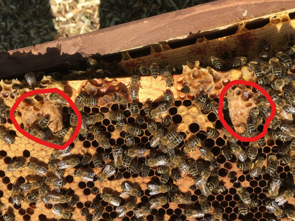 image showing queen cells on a frame, partially obscured by bees