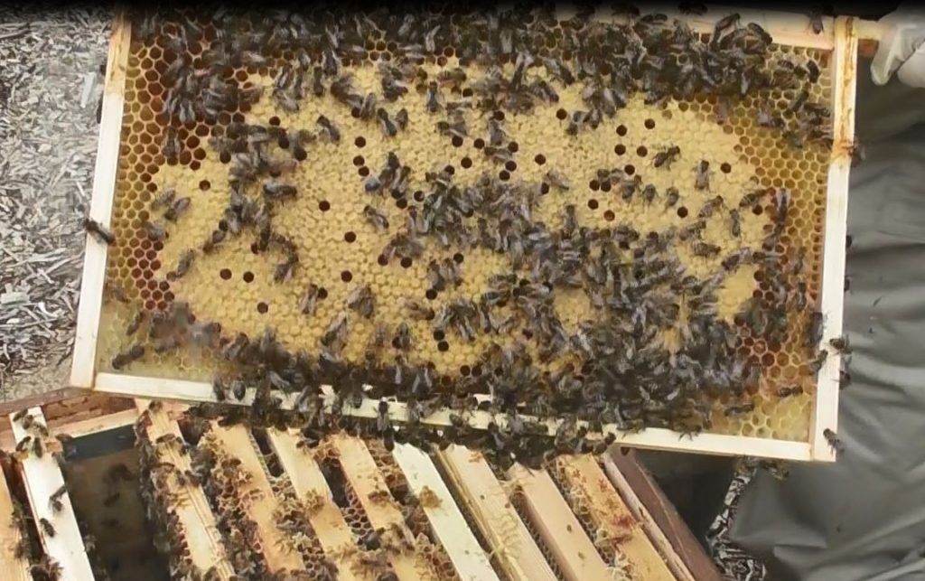 image showing a frame of newly capped brood in the brown hive