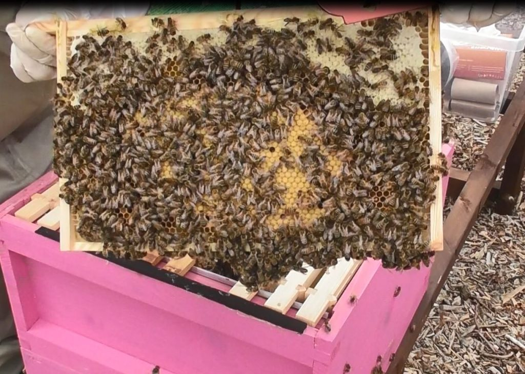 image showing clusters of bees on top of a frame of newlhy capped brood in the pink hive
