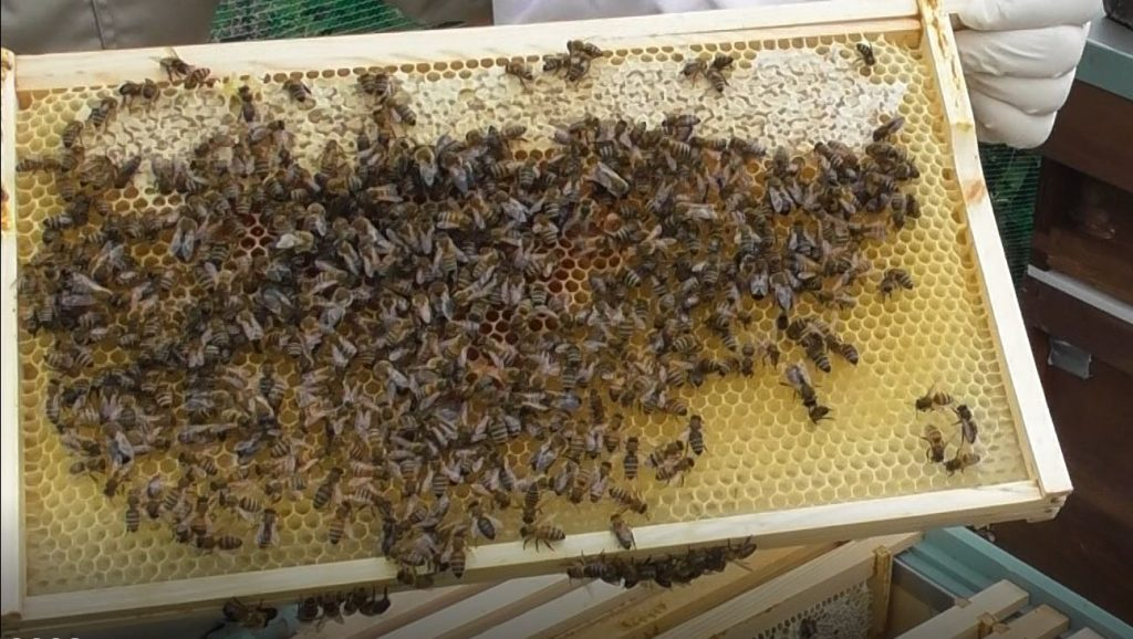 image showing a frame from the green hive with capped stores and pollen but no eggs or larvaee