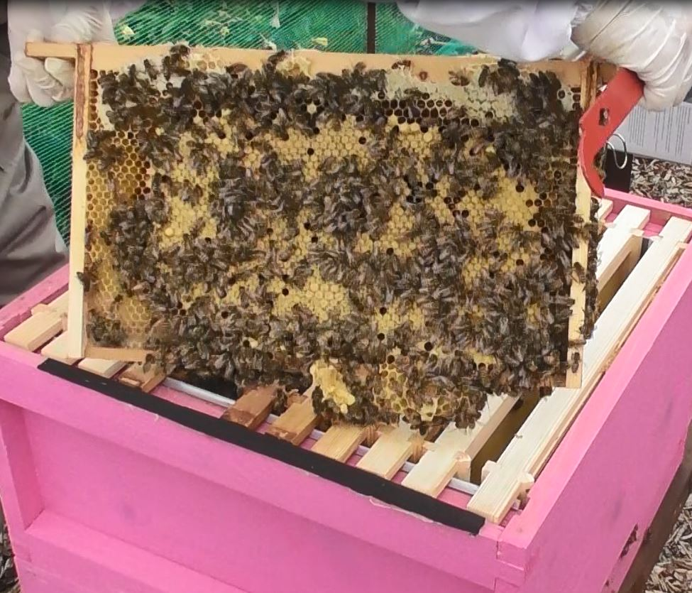 image showing a full frame of capped brood in the pink hive