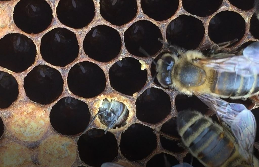 Image showing a new bee emerging from a cell