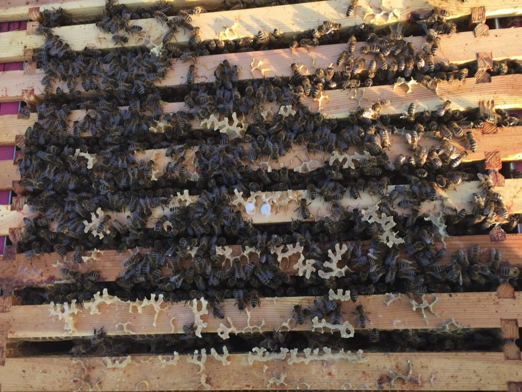 image showing bees on top of the frames in the pink hive